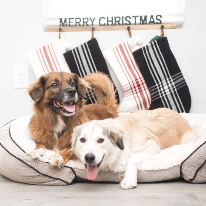 two dogs with a Mary Christmas sign Brown and White dog stockings