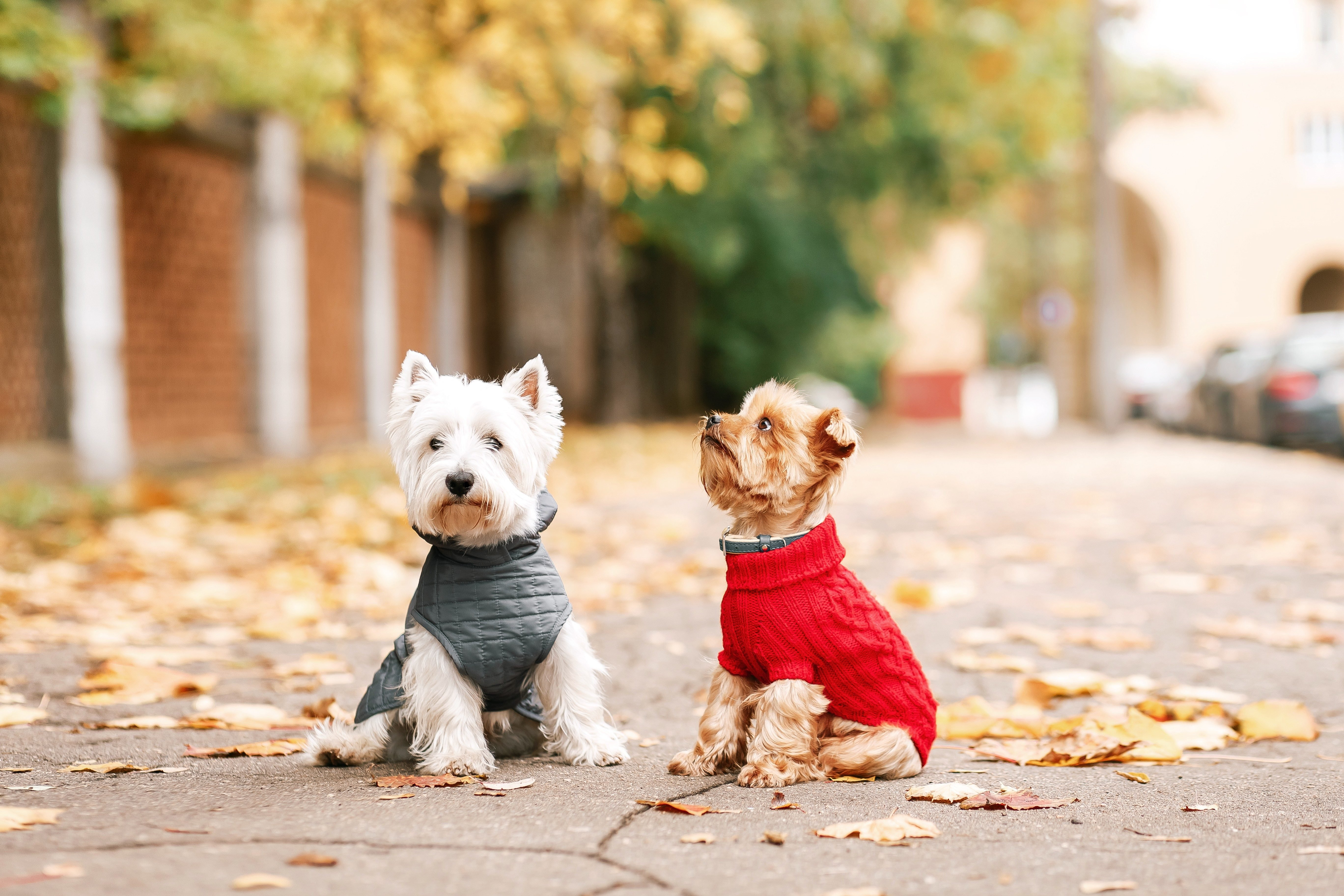Portrait of two dogs friends west highland white terrier and yorkshire terrier playing in the park on the autumn foliage. gold nature. dog in red pullover and grey coat