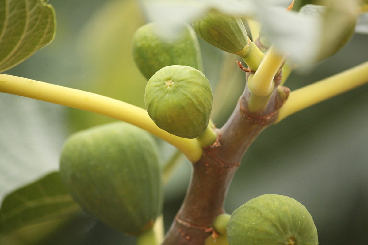 Fig plant. Figs are rich in nutrition with antioxidants, vitamins, and phytonutrients.