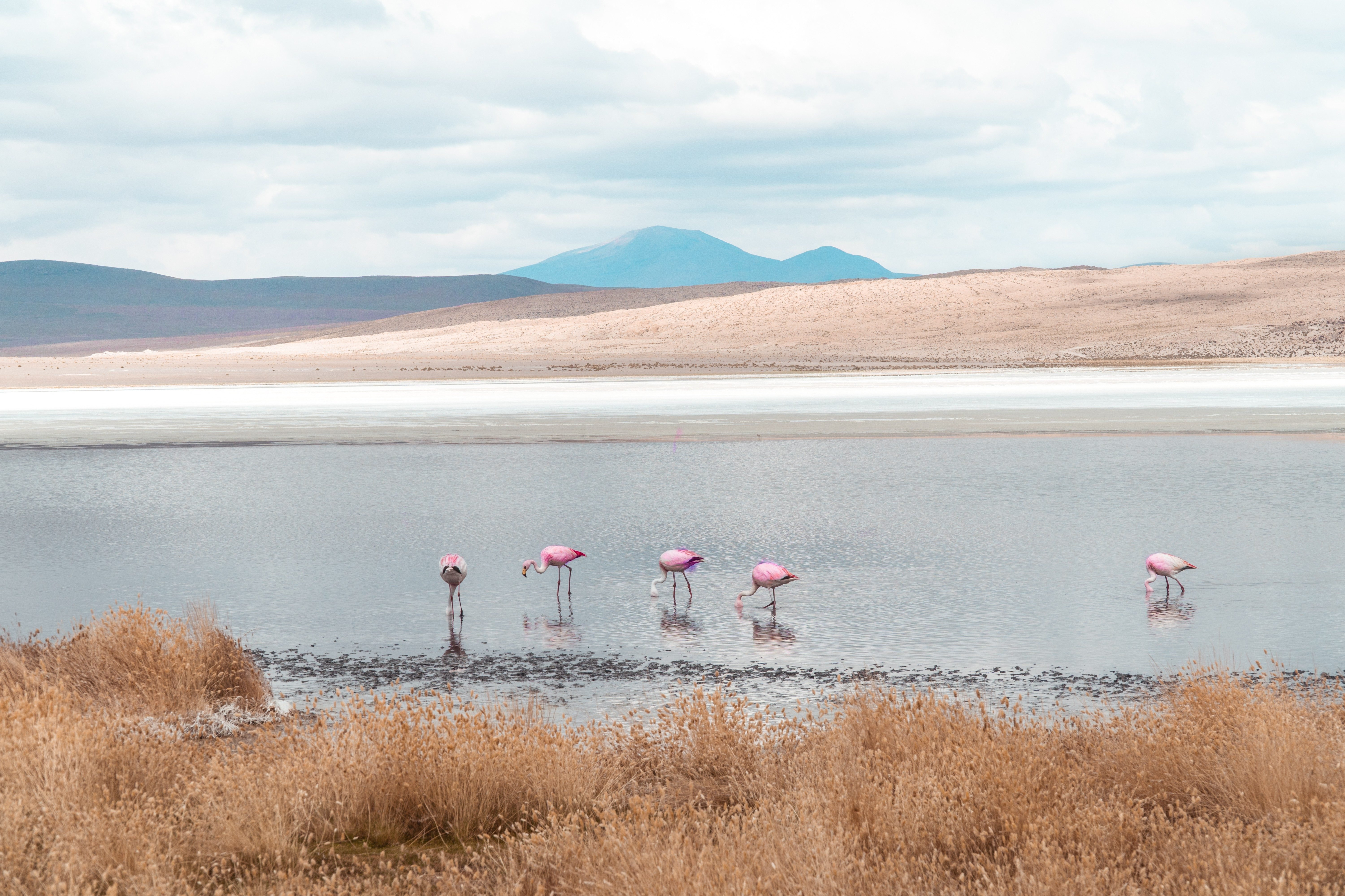 Group of beautiful pink flamingos walking and feeding in lake. Natural wildlife shot in Uyuni Salt Flats, Bolivia. Animal with water and mountain landscape background. Wild animal in nature.