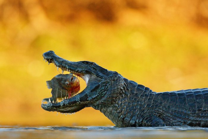 Caiman, crocodile with fish with open muzzle, Pantanal, Brazil. Detail portrait of danger reptile. Caiman with piranha.