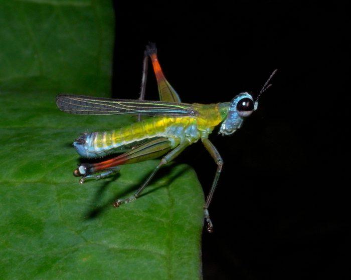 Colourful Rainbow Monkey Grasshopper, Eumastacidae monkey- or matchstick grasshoppers, Costa Rica