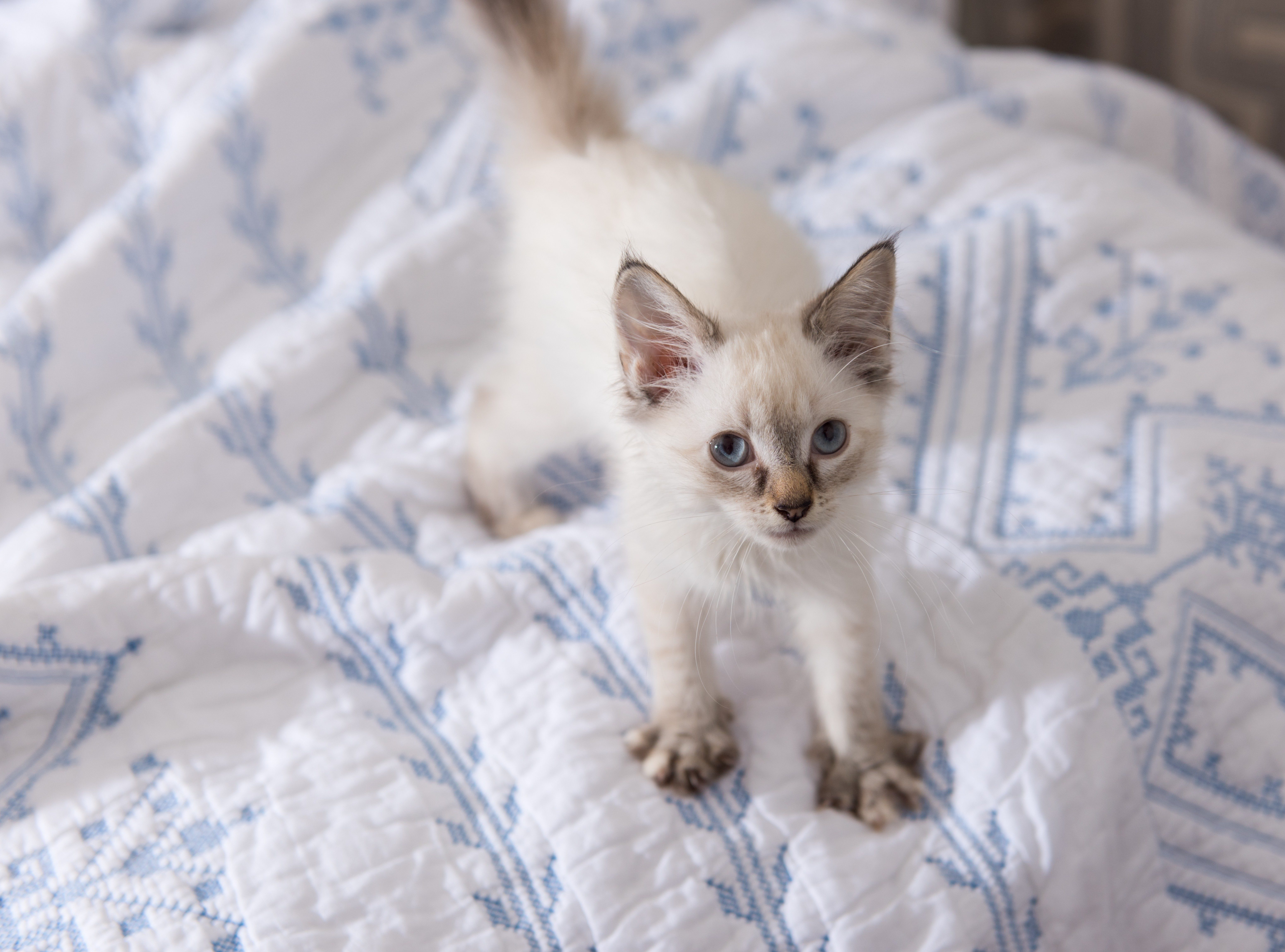 Adorable White and Tan Kitten Playing on Soft Bed