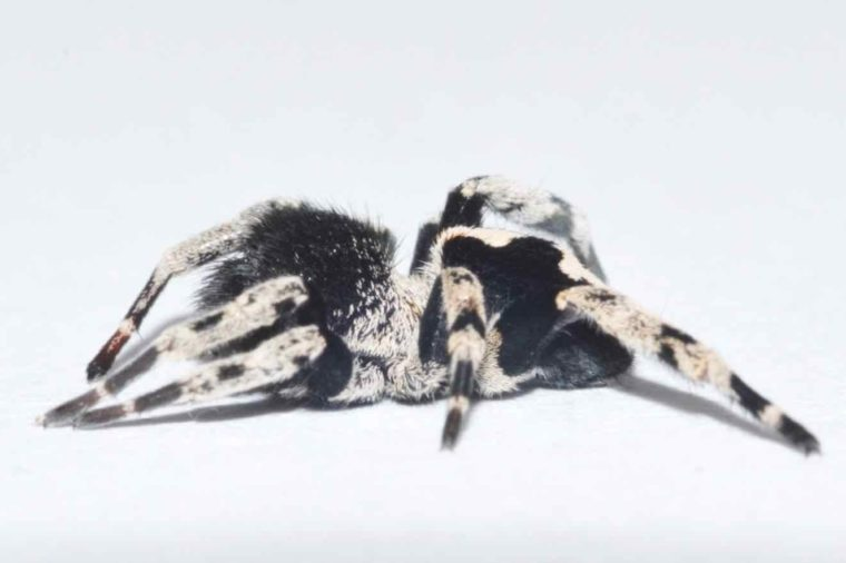 loureedia colleni spider new species