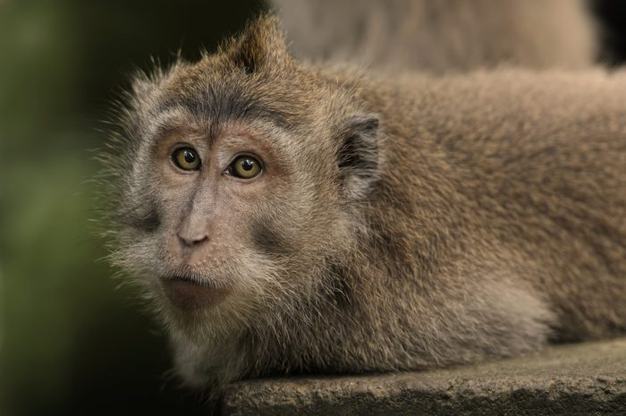 The macaques constitute a genus of Old World monkeys of the subfamily Cercopithecinae.