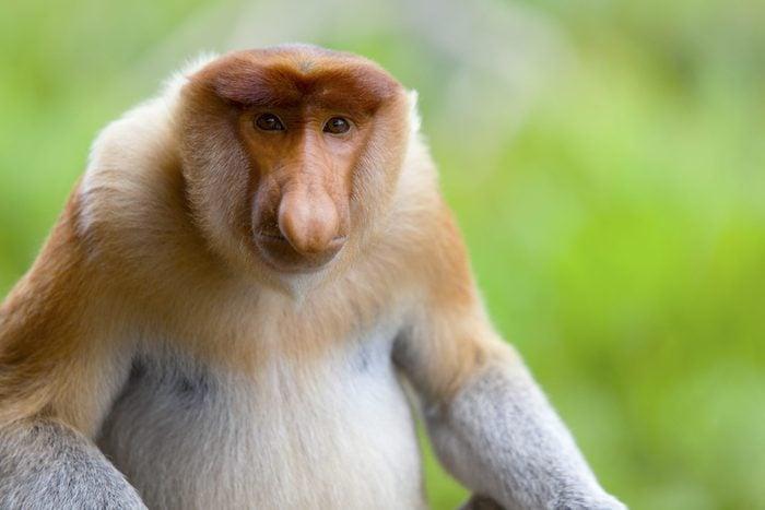 A proboscis monkey sat down and looking to camera, Sandakan, Malaysia.