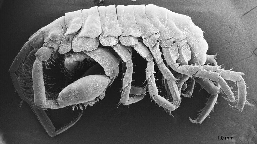 Podocerus jinbe amphipod
