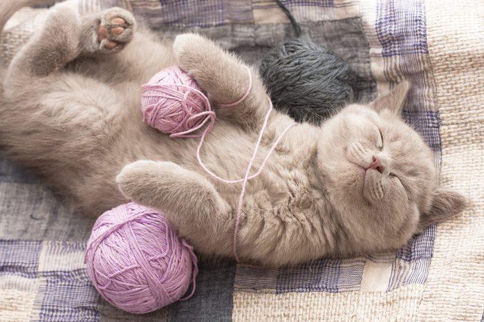 sleeping kitten rare color (lilac)