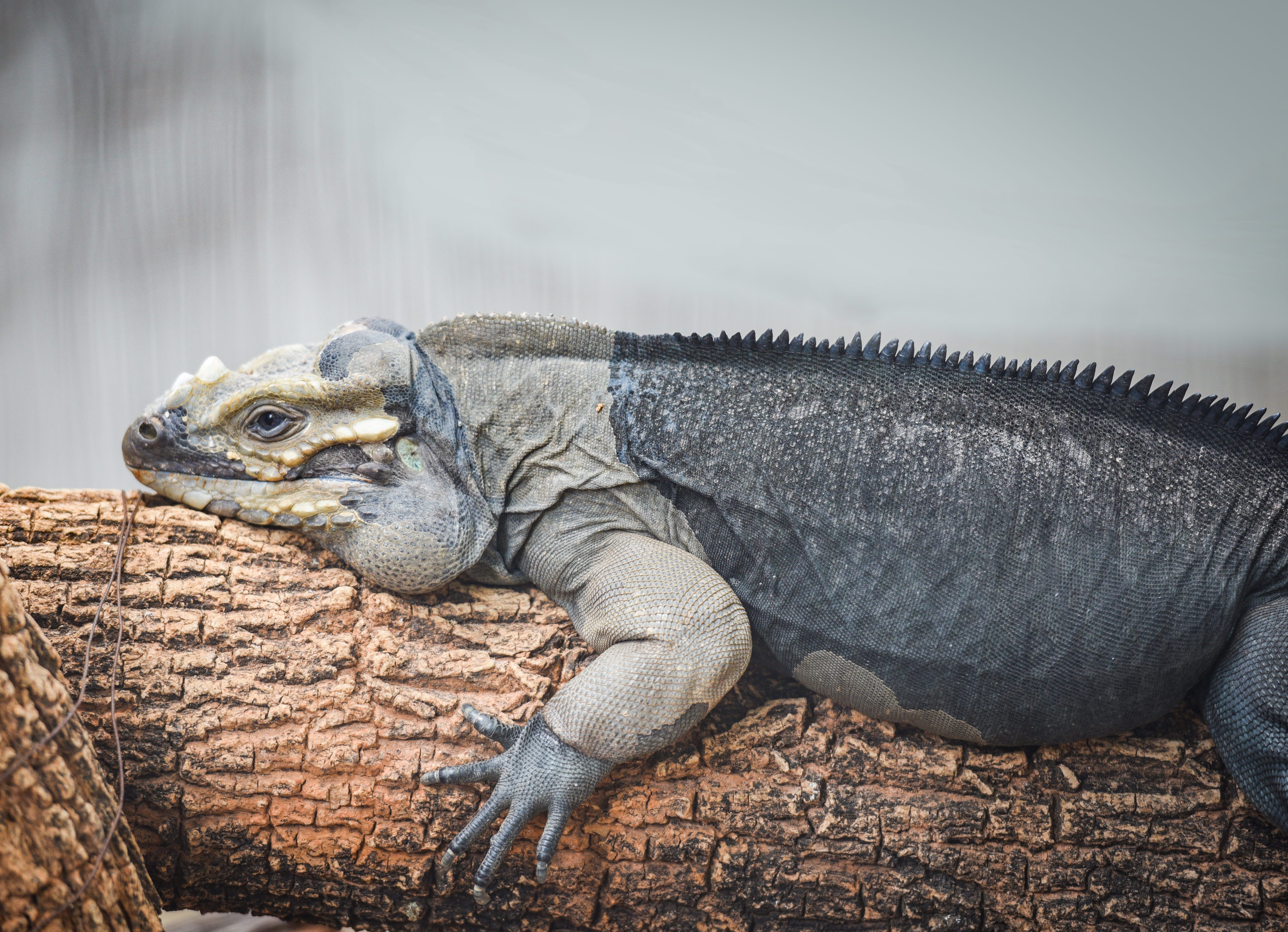 Rhinoceros Iguana lying on a branch / Cyclura cornuta