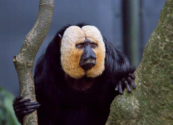 White-faced saki. It is a species of Primate in the order broad-nosed monkeys. Pale Saki reaches a length of 30 to 48 cm, habitat-northeastern South America.