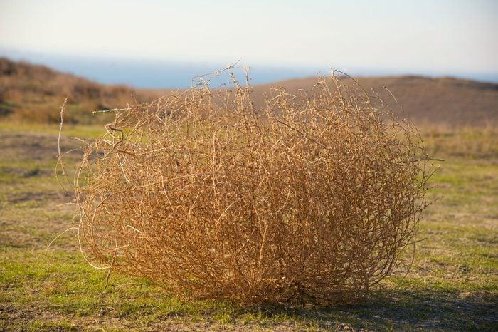 Tumbleweed in the steppe