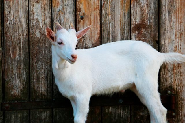 Baby goat portrait against wood wall
