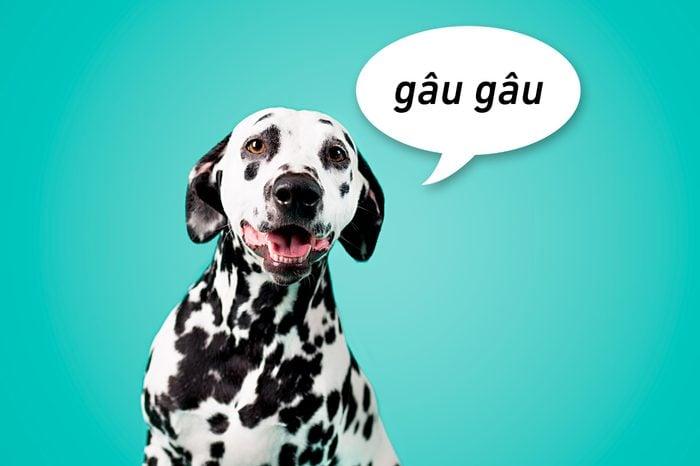 """portrait of a dalmation dog on aqua background with speech bubble """"gau gau"""""""