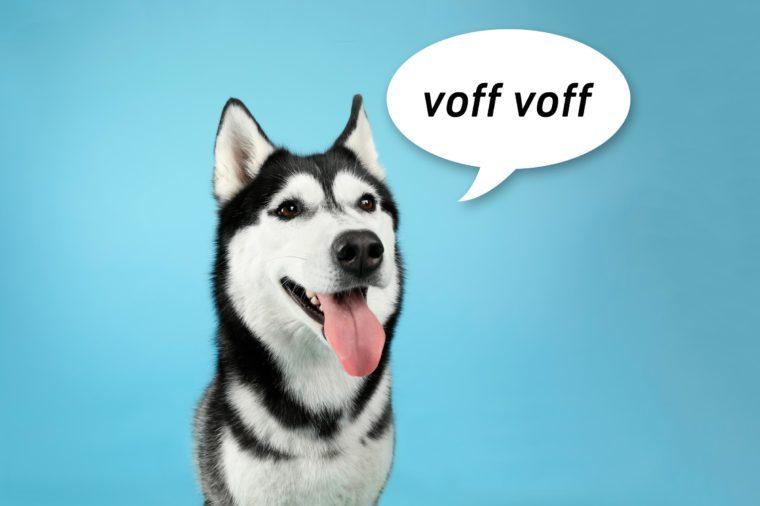 "portrait of a husky dog on blue background with speech bubble ""voff voff"""