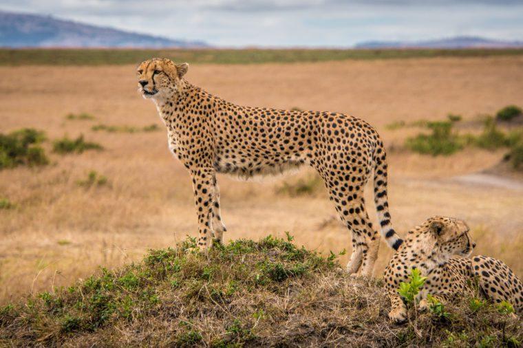 Cheetah on the lookout in Masai Mara National Park, Kenya.