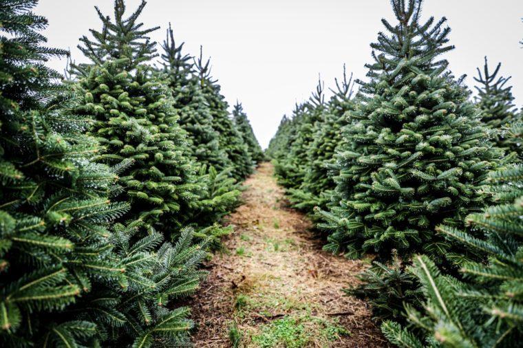 pathway through christmas trees on farm