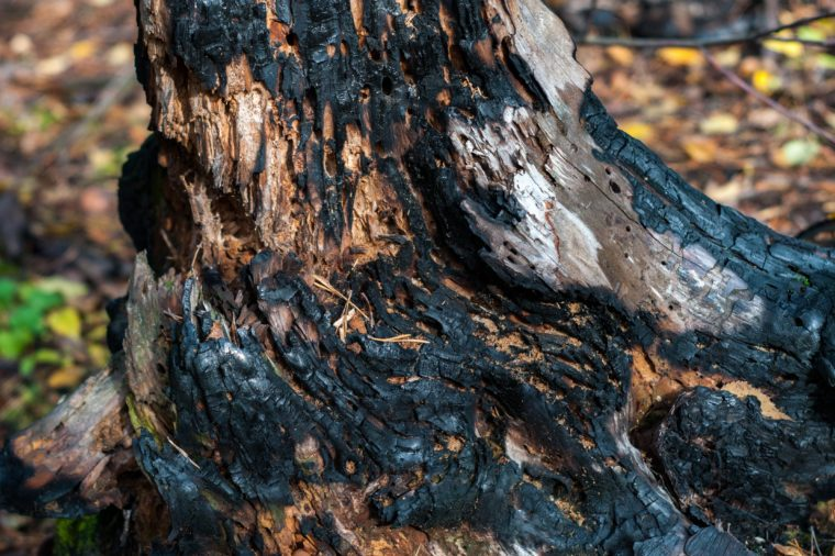 burnt tree trunk after a forest fire