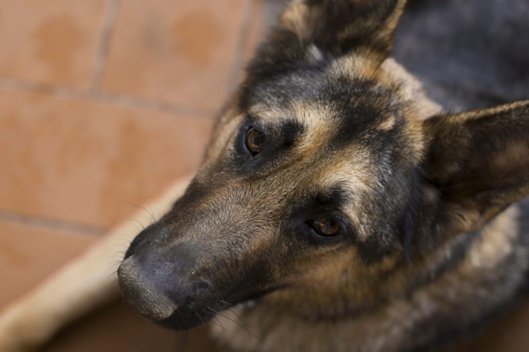Beautiful loyal german shepherd dog looking up at the camera with trusting eyes, overhead closeup portrait