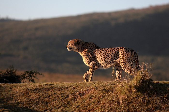 A beautiful sepia tone image of a cheetah walking oven the plains.Taken on safari in Africa.