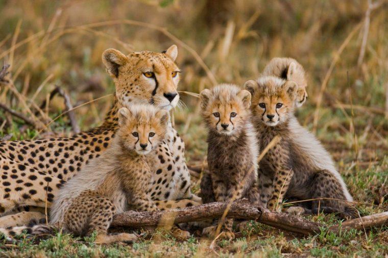Mother cheetah and her cubs in the savannah. Kenya. Tanzania. Africa. National Park. Serengeti. Maasai Mara. An excellent illustration.