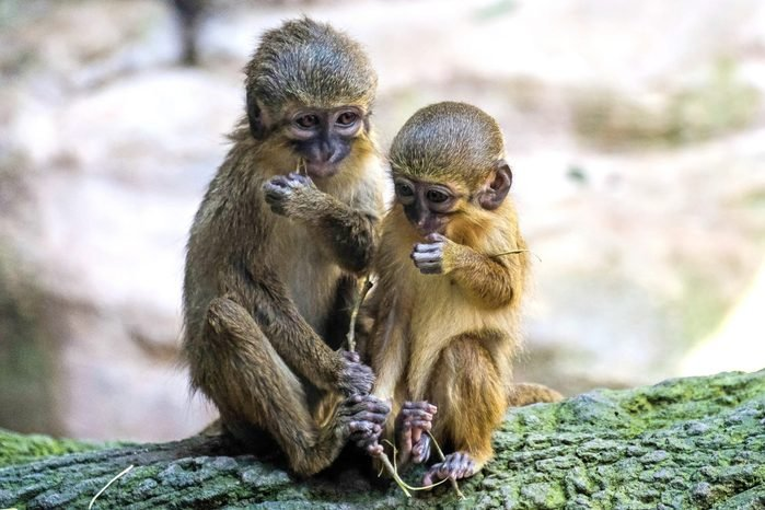 A Pair of Talapoin Monkeys (Miopithecus talapoin) in the Bioparc Fuengirola; Shutterstock ID 434655826; Job (TFH, TOH, RD, BNB, CWM, CM): RD
