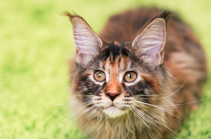 Fluffy tortoiseshell kitty sitting on a green carpet. Portrait of domestic Maine Coon kitten, top view point. Playful beautiful young cat looking upwards - focus on eyes.; Shutterstock ID 519553579; Job (TFH, TOH, RD, BNB, CWM, CM): RD