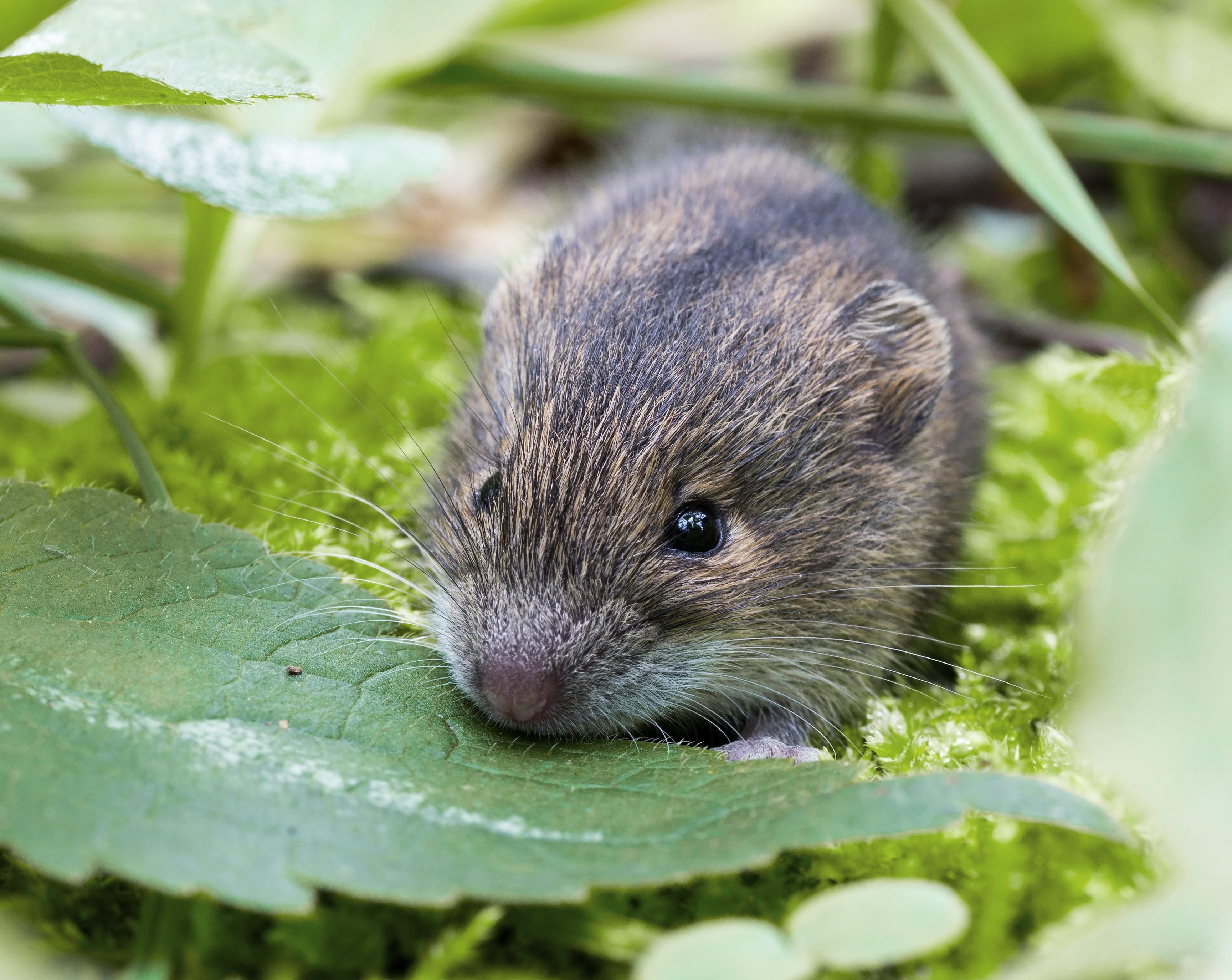 forest birch mouse (Sicista betulina) small in its natural habitat.; Shutterstock ID 650589304; Job (TFH, TOH, RD, BNB, CWM, CM): -