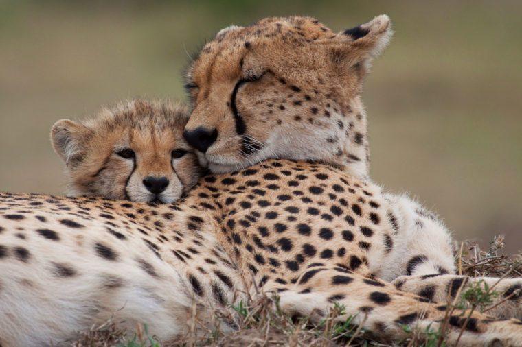 endangered cheetahs