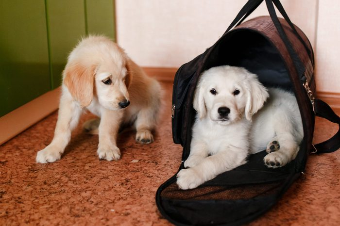 Puppy dog Labrador Retriever sitting in his transporter or bag and waiting trip travel. concept transportation of animals.