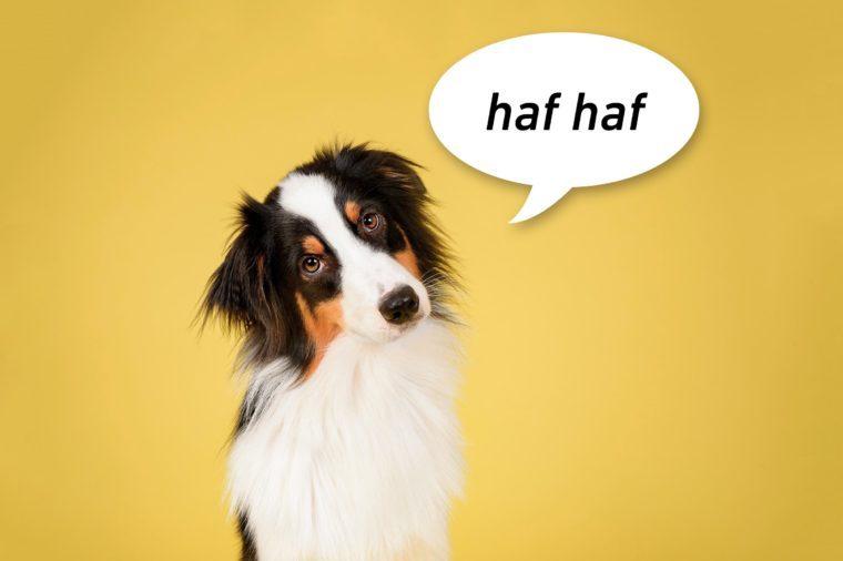 "Australian Shepherd Dog in Studio on Yellow Background with speech bubble ""haf haf"""