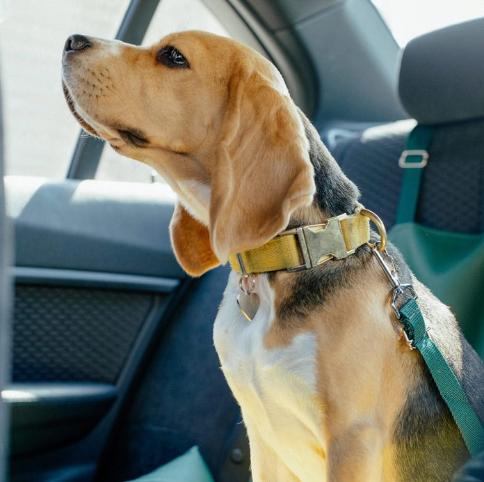 dog car back seat