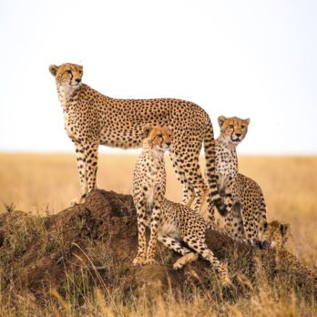 How Many Cheetahs Are Left in the World?