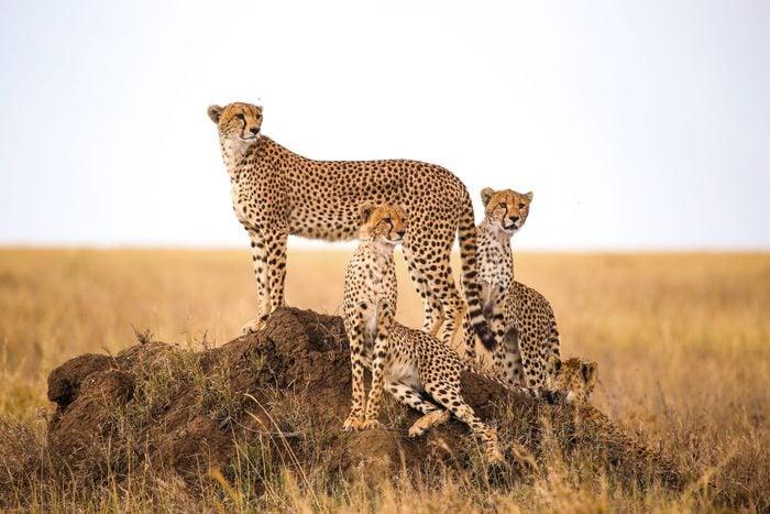 cheetahs going extinct