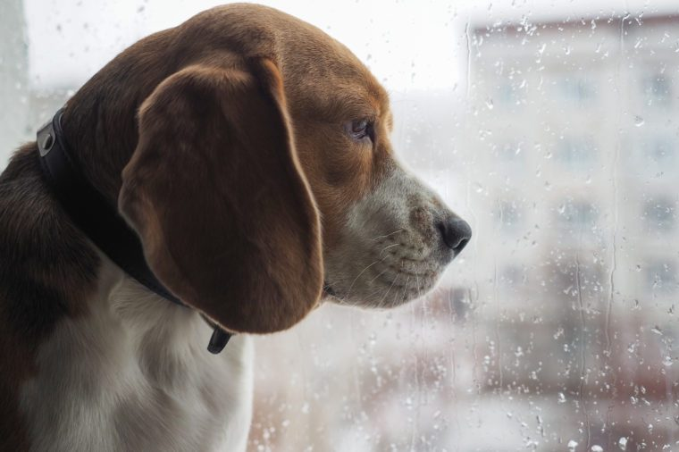 the breed of dog, the Beagle looks out the window through the glass with rain drops