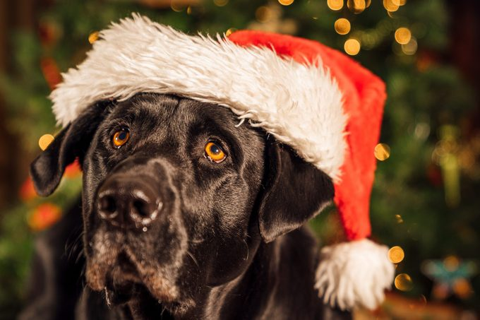 Puppy wearing Santa hat for the holidays.