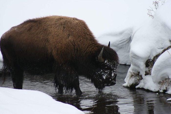 Denali National Park Alaska bison