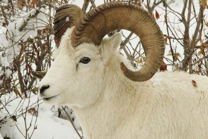 denali National Park the dall sheep