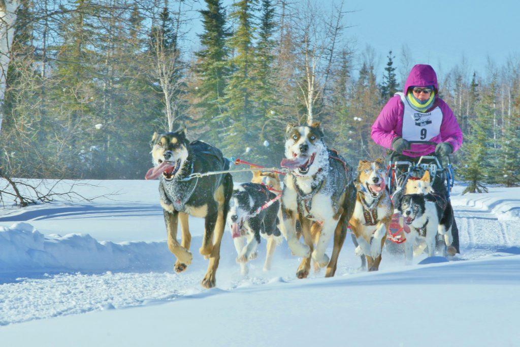 Dog Mushing in Alaska is the State sport