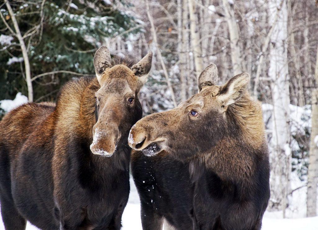 snow moose alaska winter