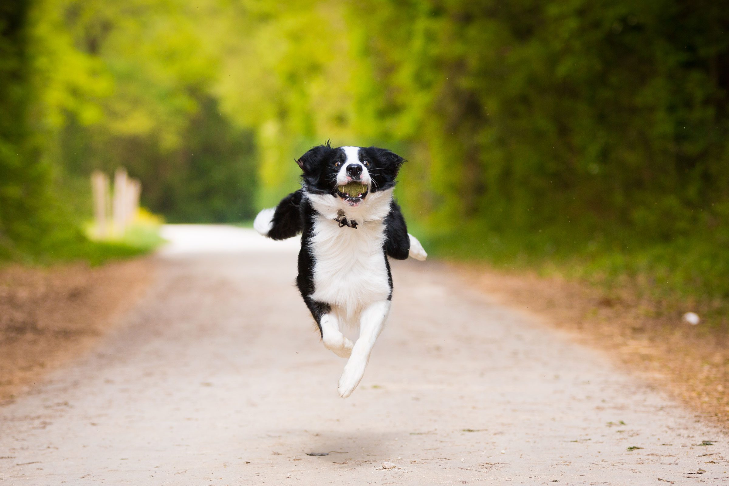 black and white dog running down a dirt road with a tennis ball in his mouth
