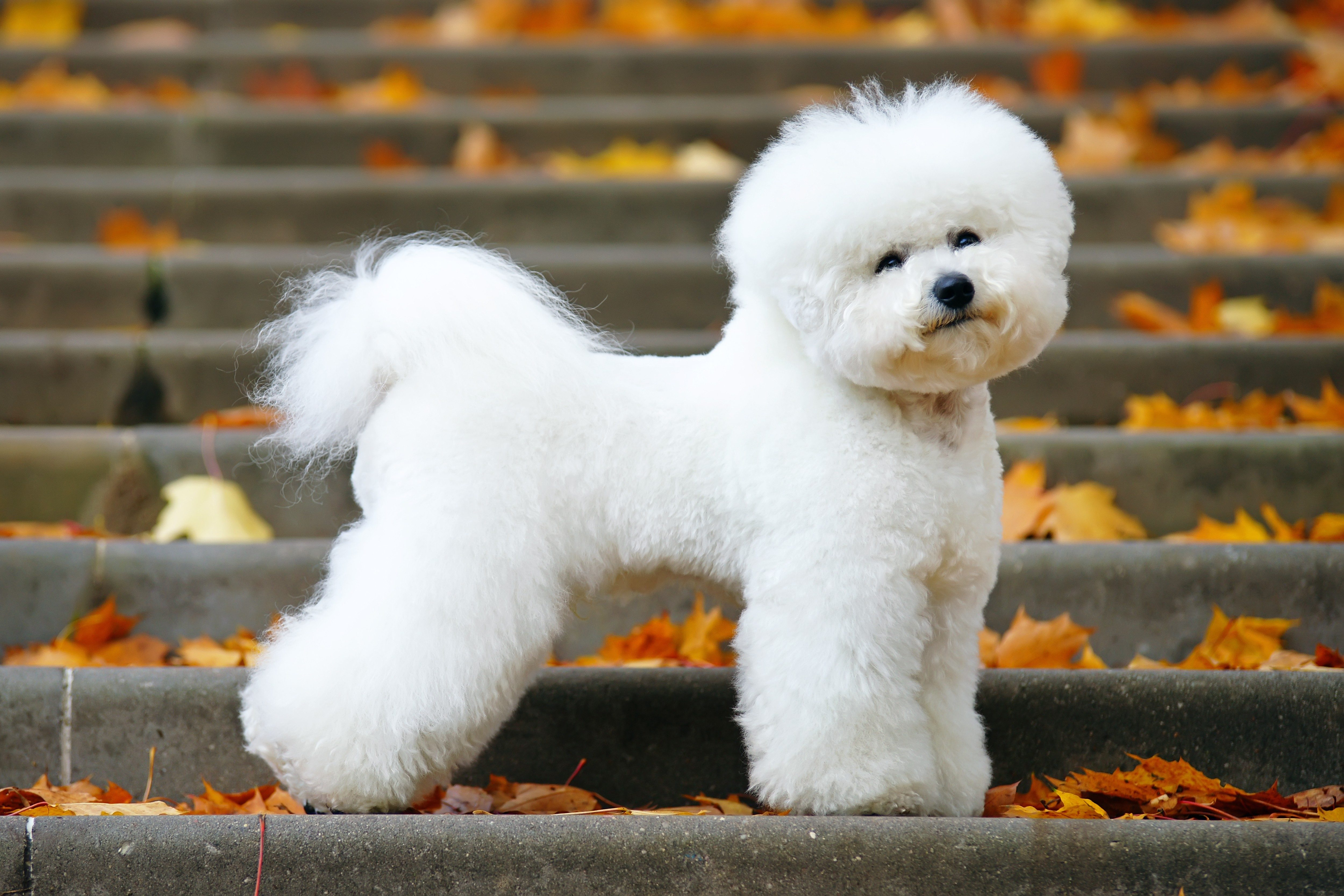 Adorable Bichon Frise dog with a stylish haircut staying on the stairs in autumn park