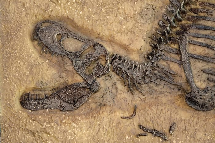 Tyrannosaurus rex fossil, Close up with selective focus. T.rex was one of the largest meat-eating dinosaurs that ever lived, the ultimate predator.