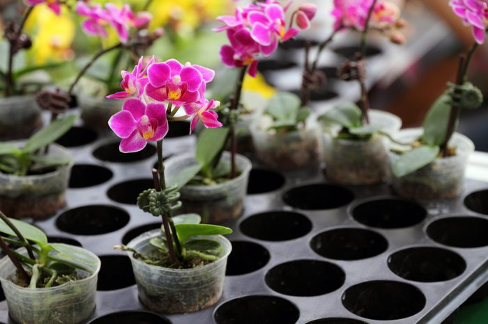 Potted plant orchid