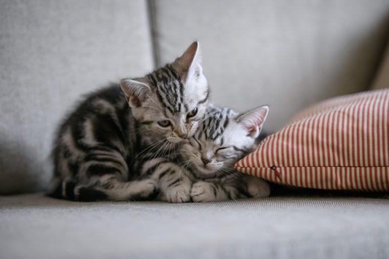 Two cute American cat kittens