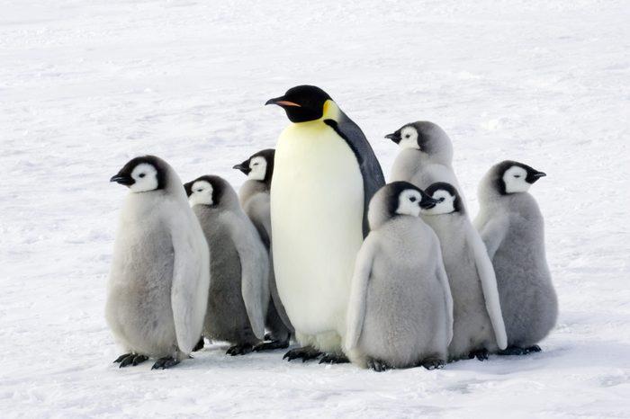 Emperor penguin with children, the Antarctic.