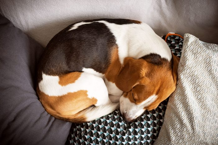 dog curled up sleeping