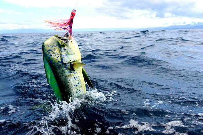 mahi mahi sport fishing Costa Rica with trolling lures