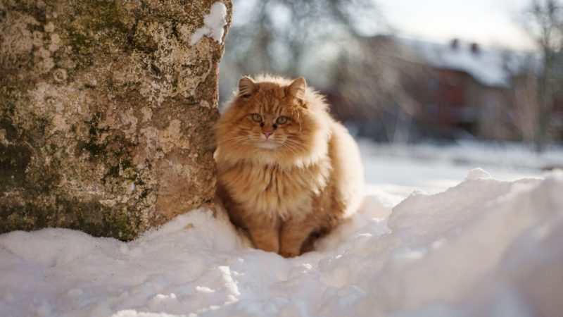 when is it too cold for cats to go outside cat in snow