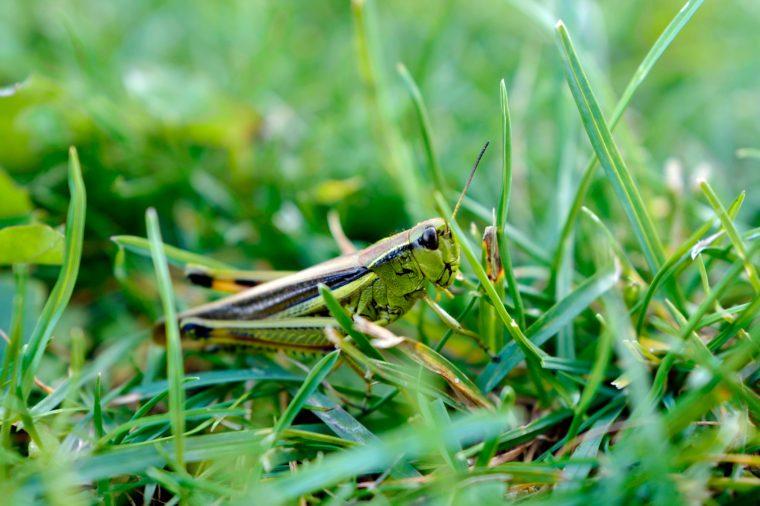 beautiful green grasshopper in a green grass