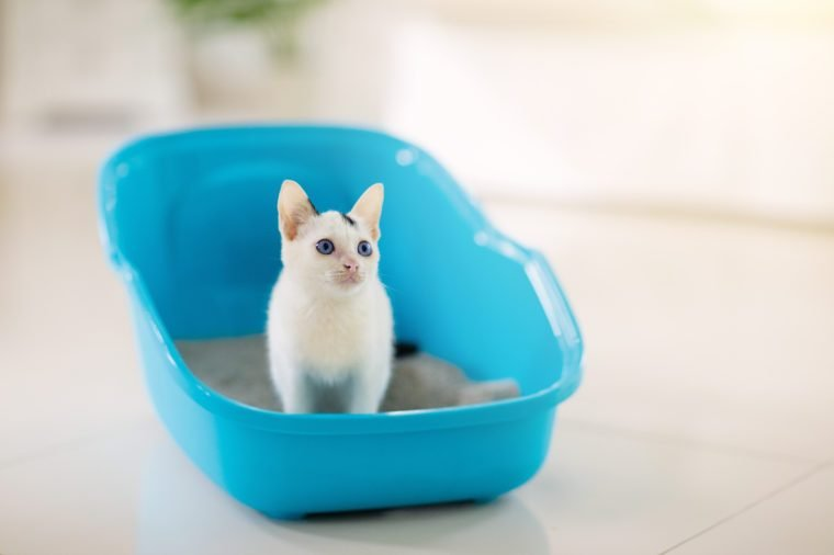 Cat in litter box. White little kitten in toilet with sand filler. Home pet care and hygiene. Potty training for young animal. Litterbox for cats.